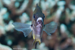 BD-141011-Komodo-4270-Amblyglyphidodon-leucogaster-(Bleeker.-1847)-[Whitebelly-damselfish].jpg